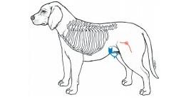 犬猫急救:关键时刻能救命的宠物心肺复苏术CPR