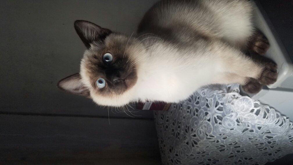关于四个月大暹罗猫调皮问题。
