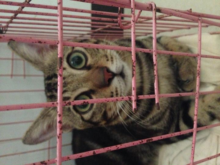 咨询猫咪品种鉴别