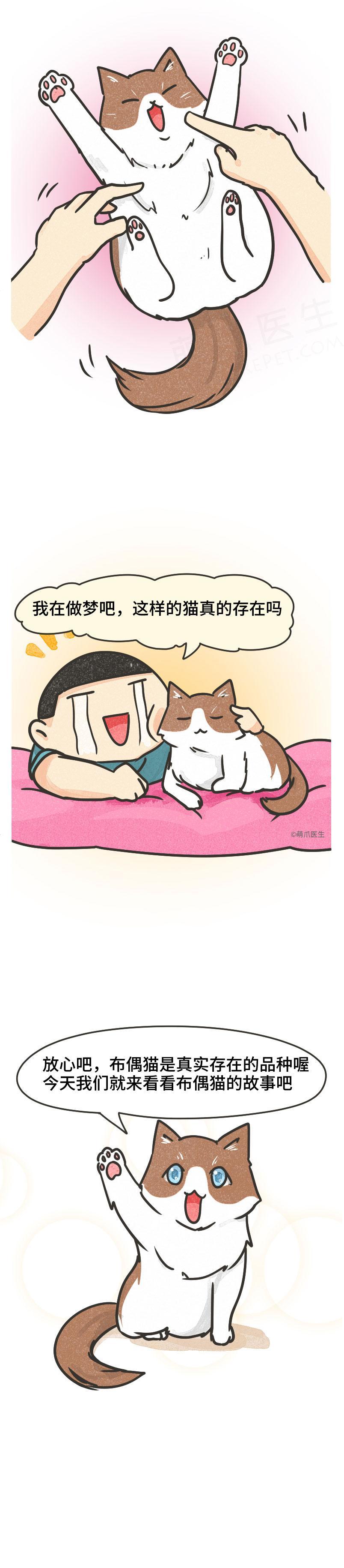 盛世美颜布偶猫,性格温顺的小天使,能满足你撸猫的所有幻想