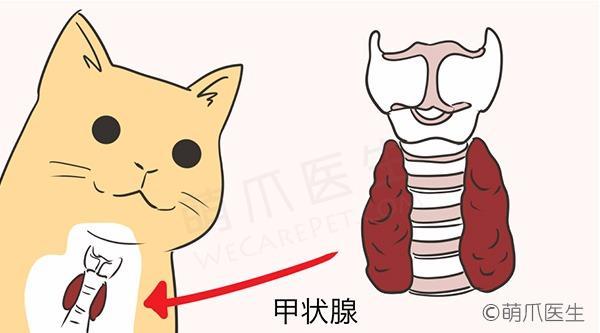 老年猫猫常见病——甲亢(hyperthyroidism)