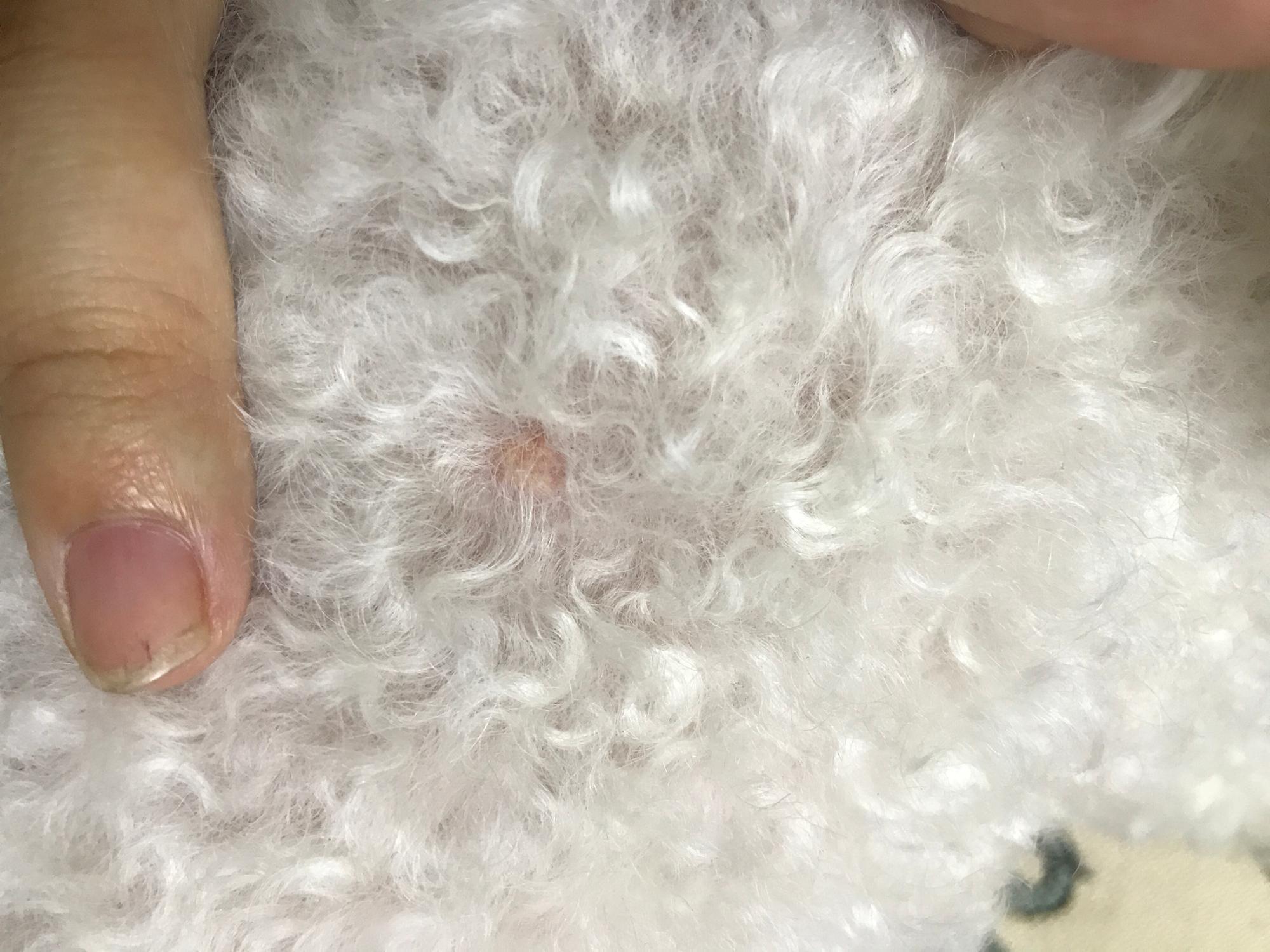 发现狗狗皮肤长了三个小瘤子,另外皮下隐约有一个小瘤子