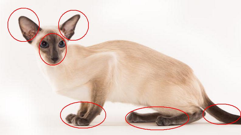 暹罗猫越长越黑,是什么原因?