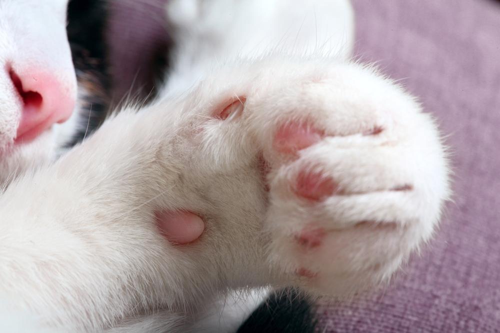 为什么猫咪会踩奶?