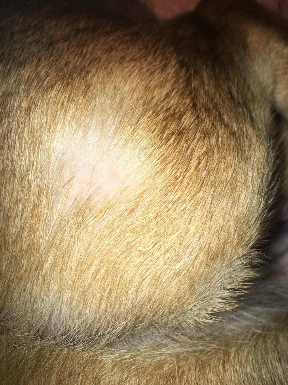 这几天刚发现狗狗的毛有块地方秃了