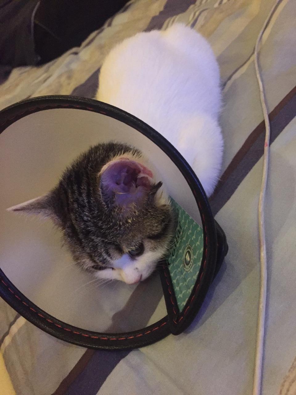 耳朵有一点猫藓可以不要一直带伊丽莎白项圈吗?