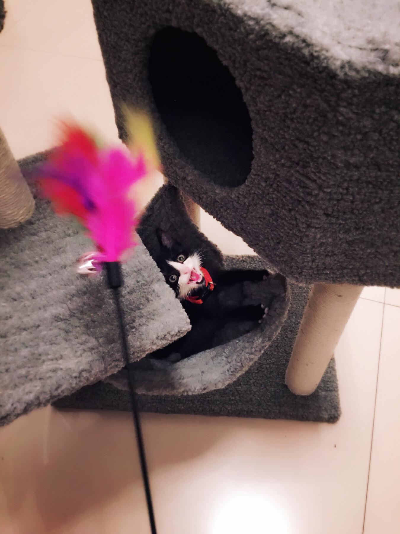 猫咪咬着彩色毛不松口