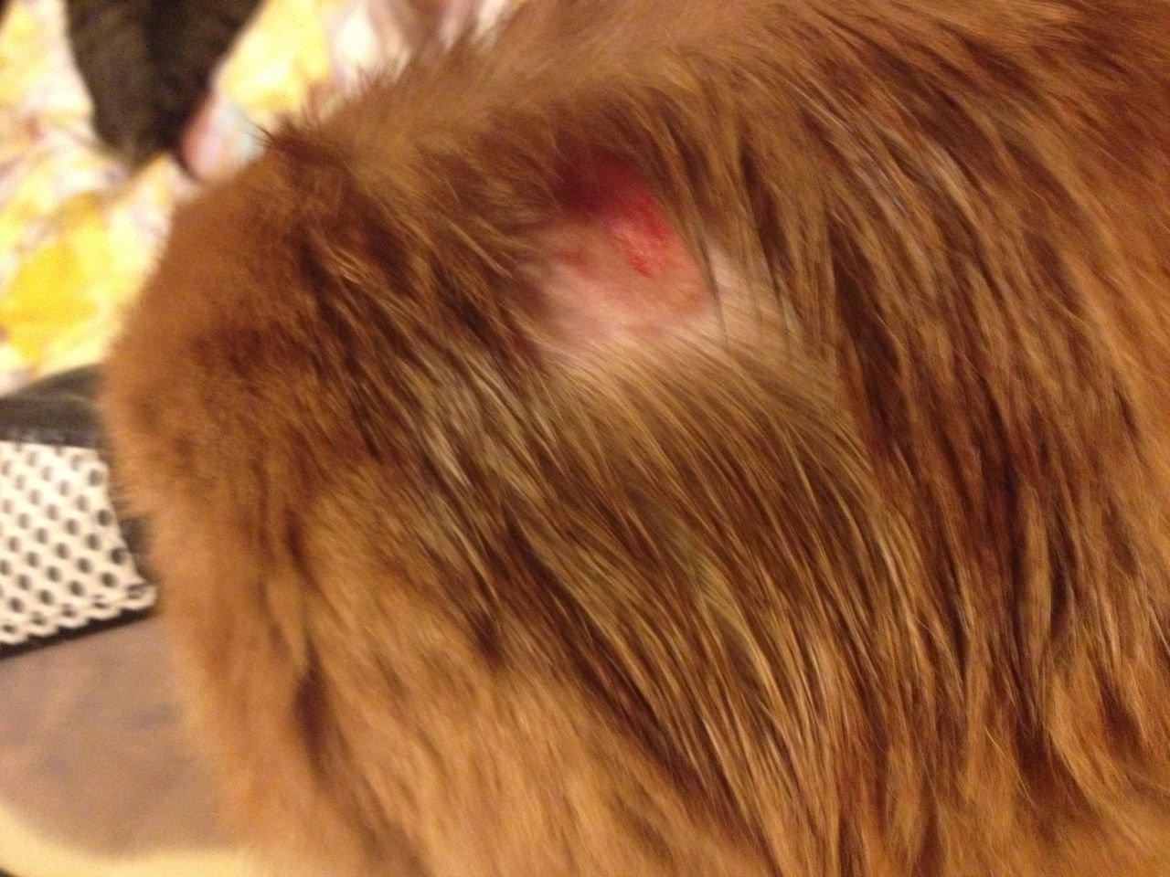 猫咪背上一块猫癣被自己踢出血了