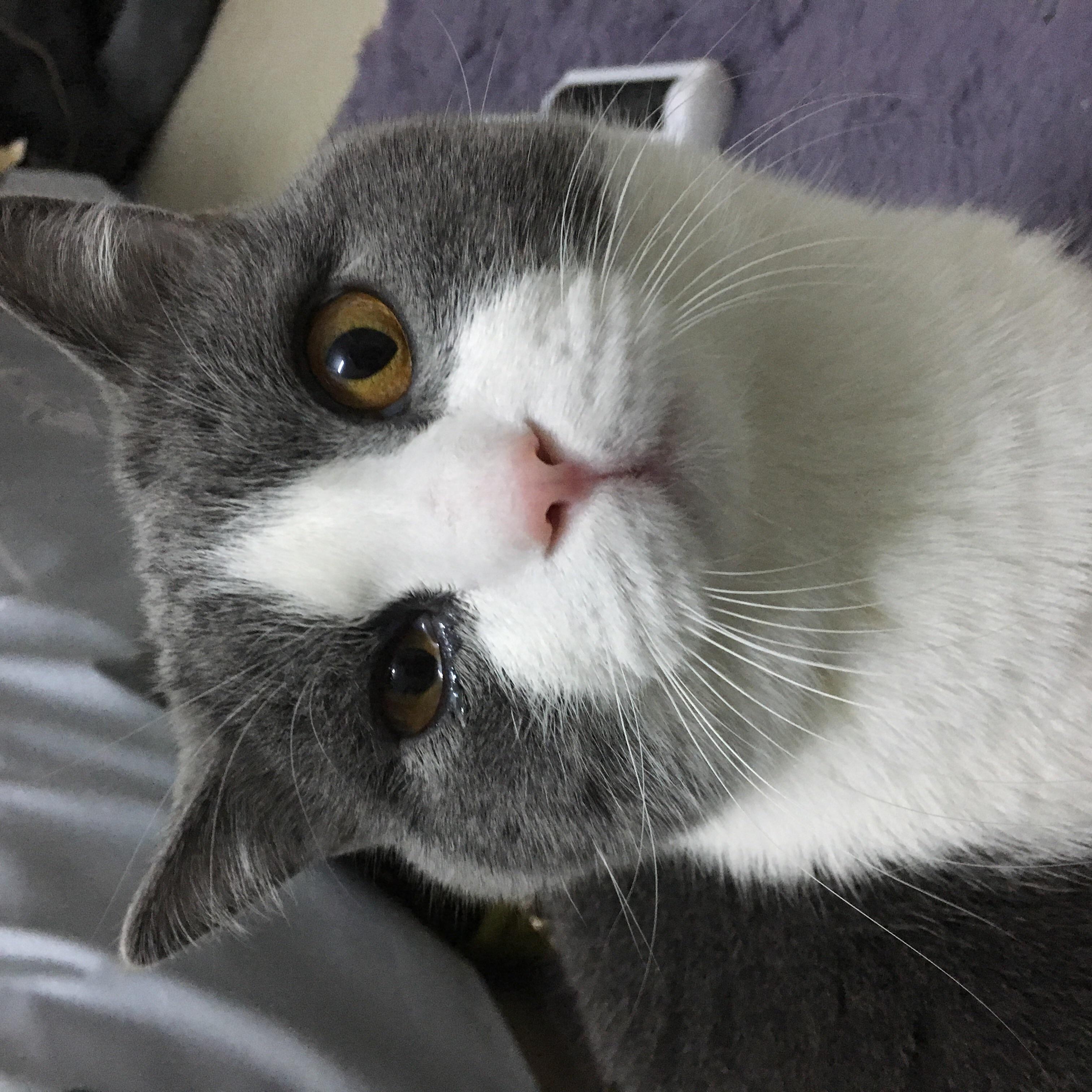 猫咪眼睛有泪水睁不开