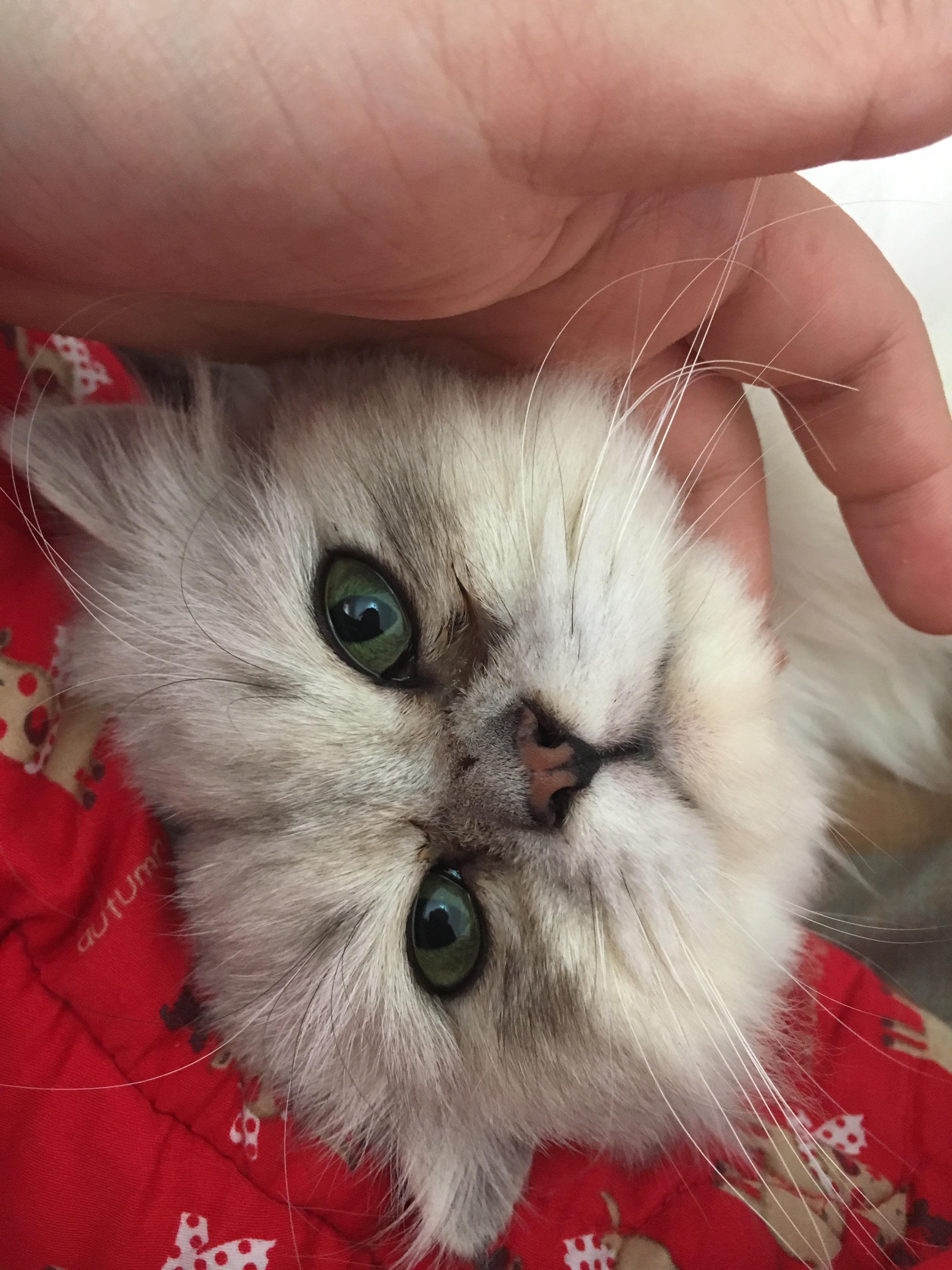 小猫流眼泪,有轻微鼻涕,是什么状况?