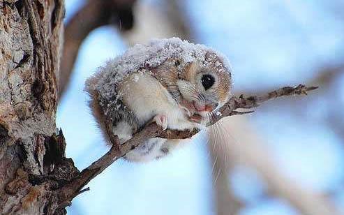 萌物鉴赏 | 萌死人不偿命的西伯利亚鼯鼠
