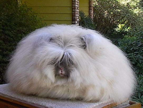 萌物鉴赏 | 兔中杀马特:安哥拉兔