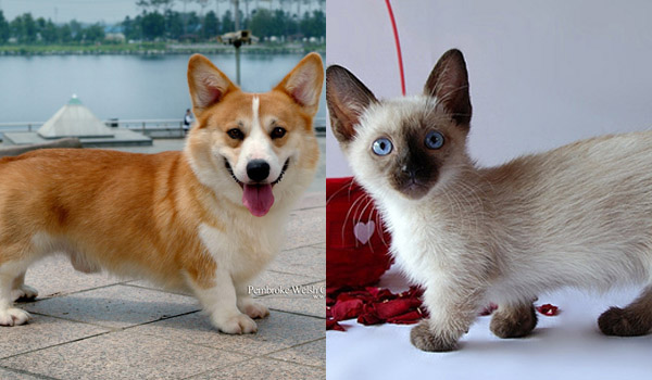 萌物鉴赏|猫中柯基:曼赤肯猫(Munchkin cat)