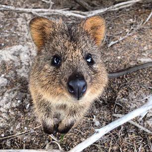 世界上最快乐的动物:短尾矮袋鼠
