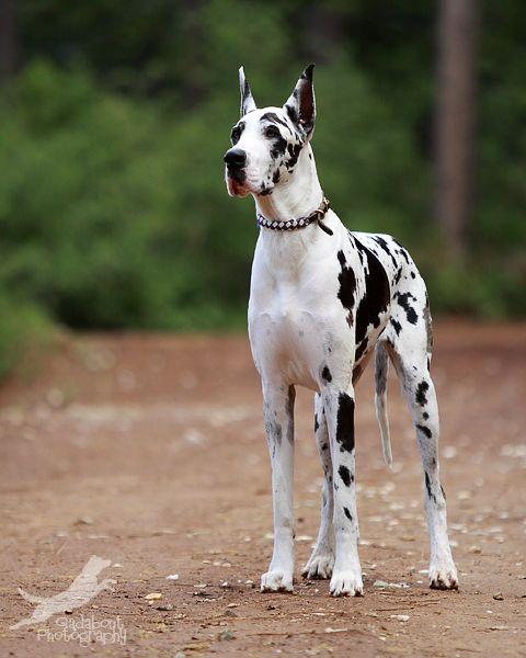 萌物鉴赏: 狗世界里温柔的巨人