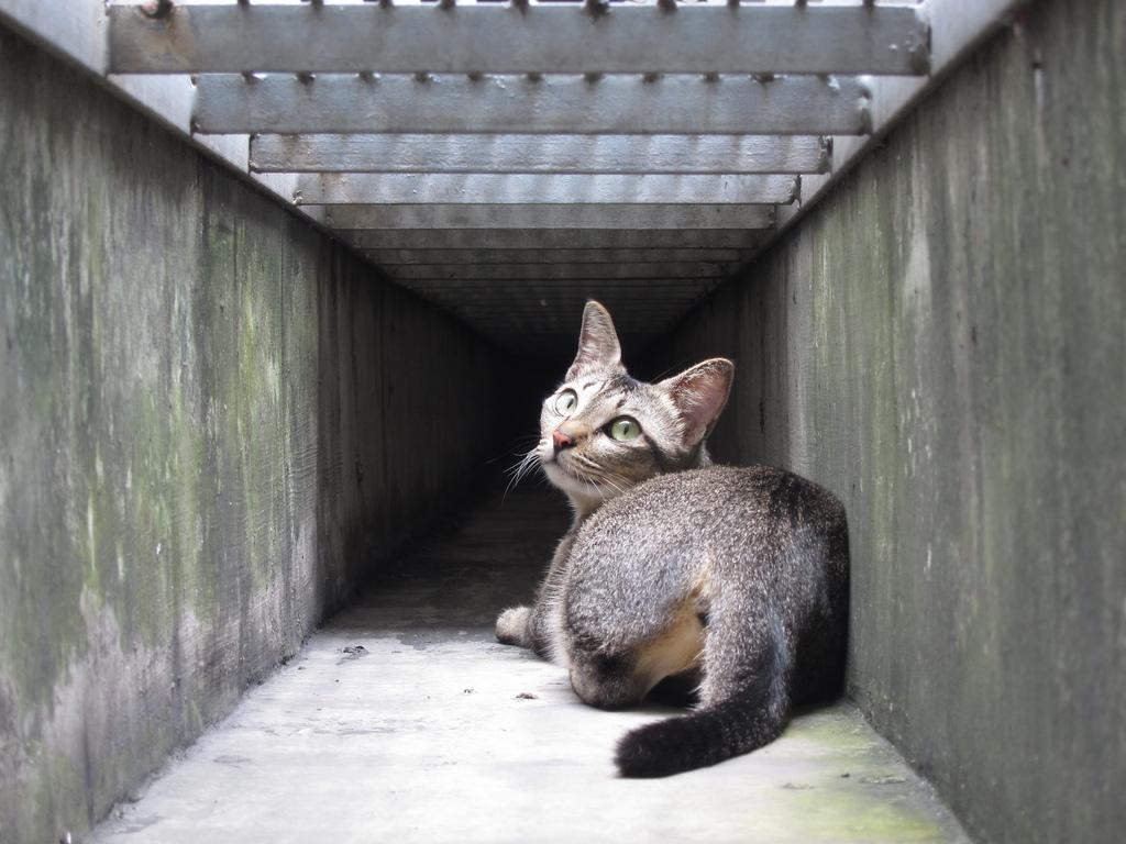 萌物鉴赏|阴沟猫的逆袭-新加坡猫