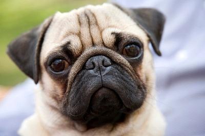 整容风潮来袭,兽医如何看待宠物整容?