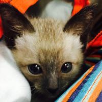 猫咪没有脱肛但是肛门突出