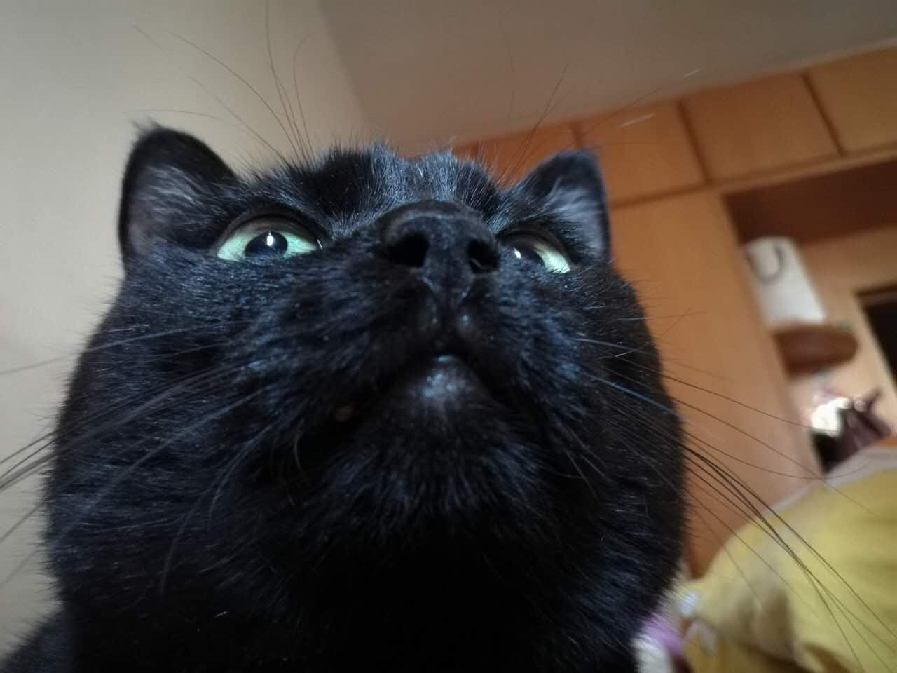 已经做过拔牙术的口腔炎患猫
