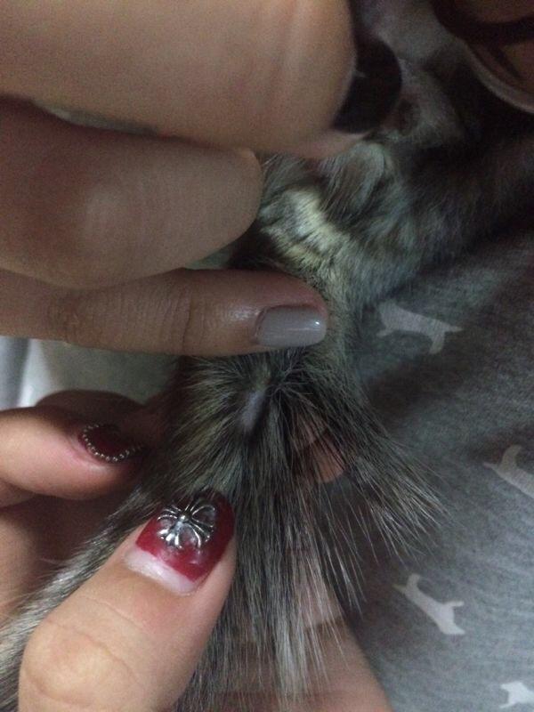 我家屎球尾巴掉了一块毛