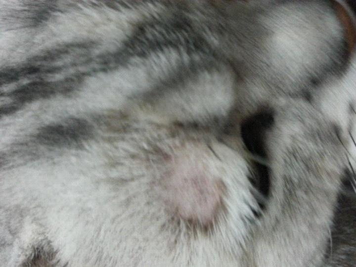 猫藓怎么有效治疗?皮肤都被他抓破一块了