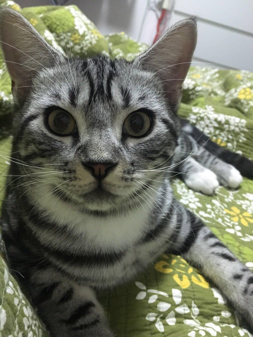 猫咪耳朵发白