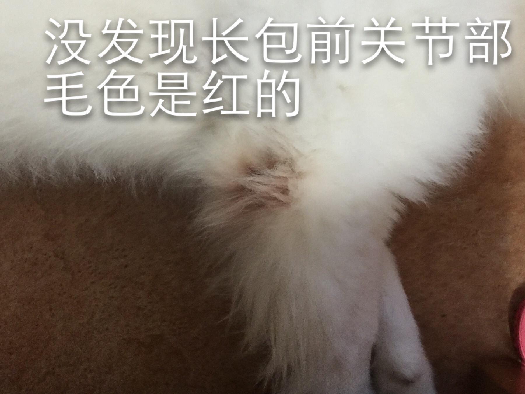 萨摩耶前爪左右关节长肉瘤。(如图)