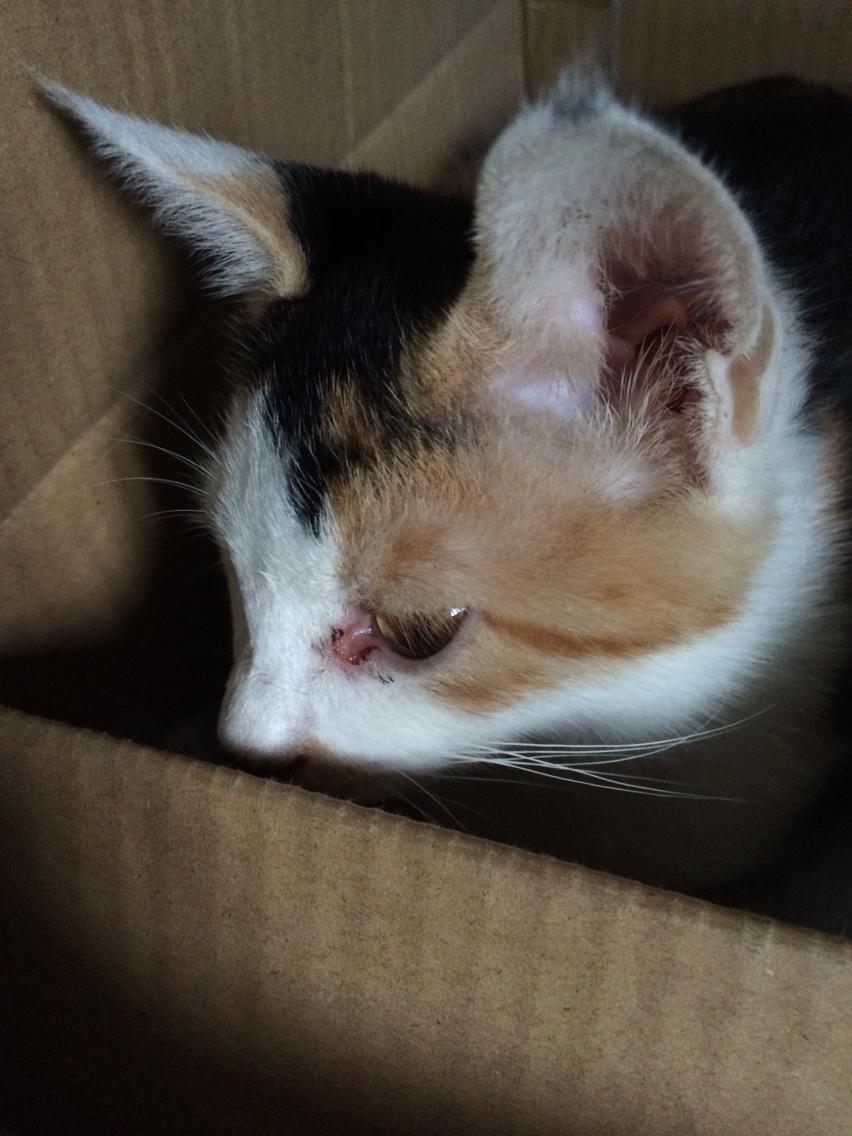 小猫眼睛眼眶变红