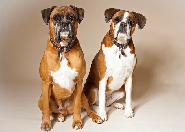 母狗比公狗聪明吗?