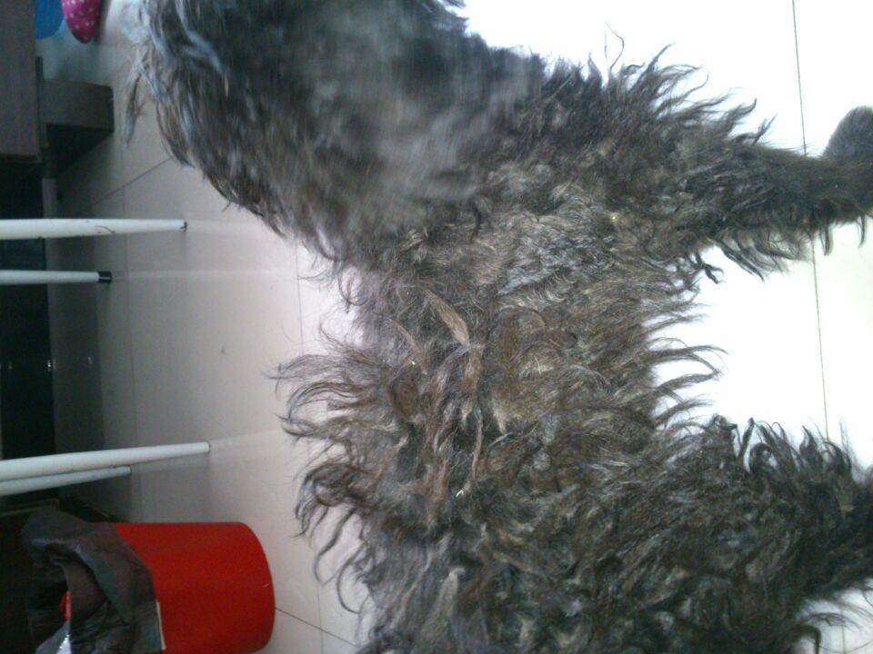 狗狗大量脱毛