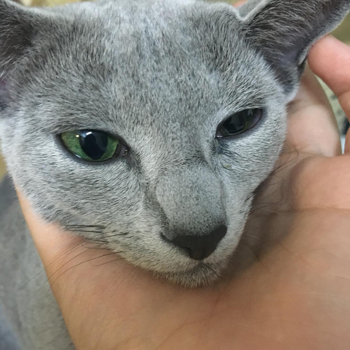 猫咪偶尔打喷嚏眼睛反复发炎