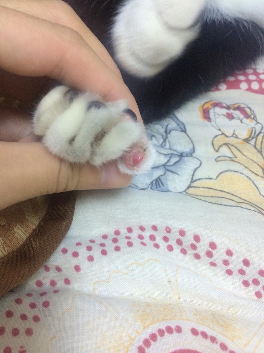 猫咪一个指甲掉了