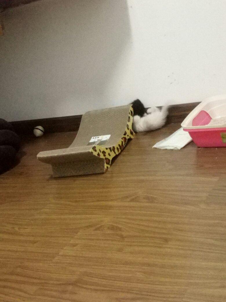 家里的两只小猫打架非常凶