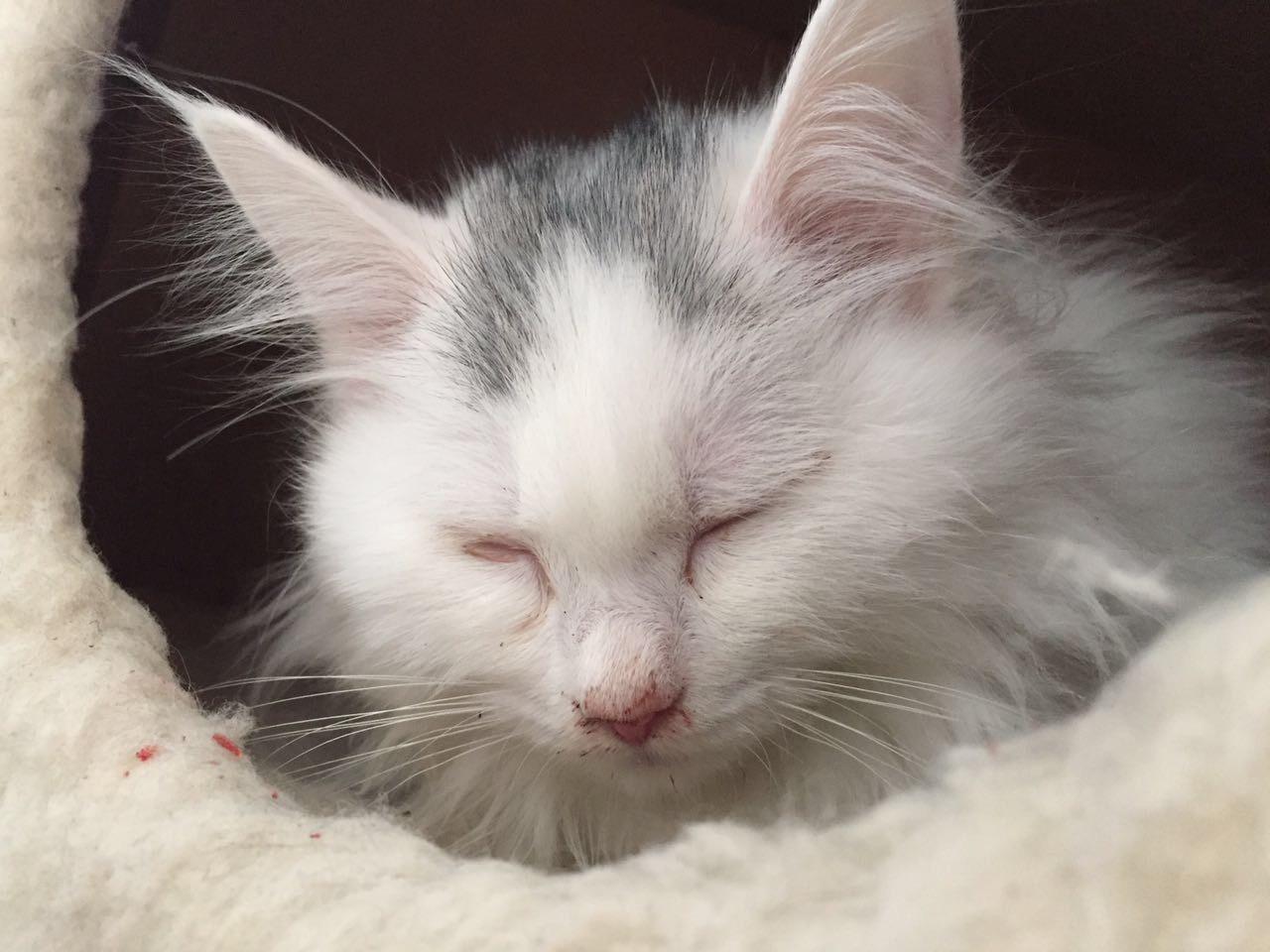 三个月幼猫流鼻血 打喷嚏 发抖