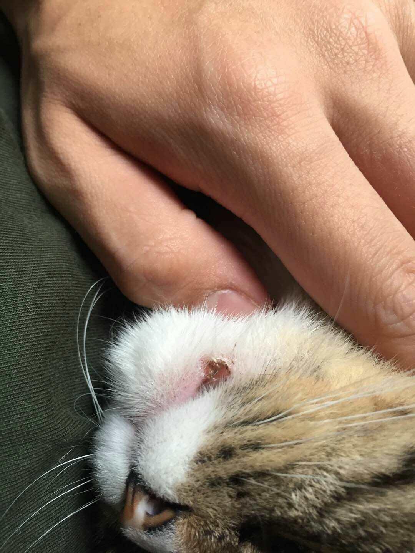 猫咪绝育后发现嘴角溃烂,张嘴有疼痛感