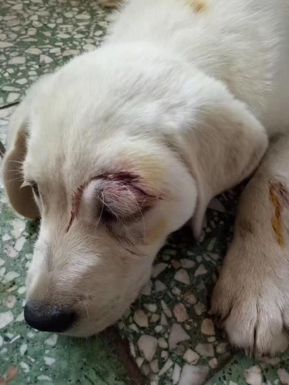 被大狗咬了眼部上方流血了